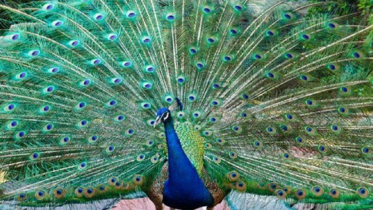 बर्ड फ्लूच्या प्रसाराला वेग! कोंबडी, कावळे आणि इतर पक्ष्यांनंतर आता मोरांचा देखील होतोय मृत्यू