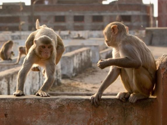 A herd of monkeys took two 8-day-old twin sisters from inside the house in Tamil Nadu