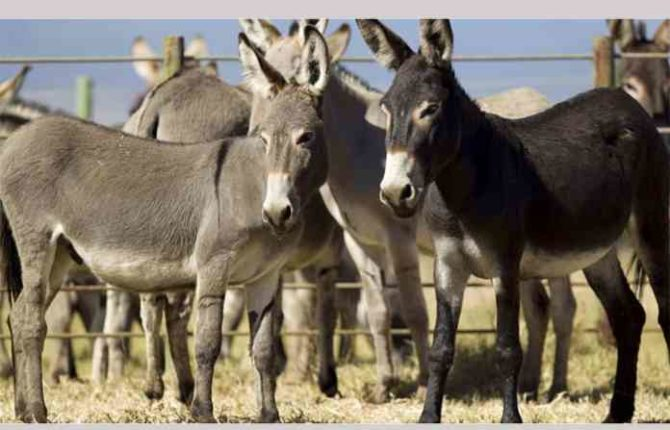 Does eating donkey meat increase sex power?
