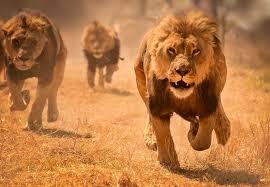 watch video: हरणाला पाहून जंगलाच्या राजाने ठोकली धूम