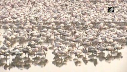 पक्षीप्रेमींसाठी पर्वणी : नवी मुंबई येथील खाडी परिसरात स्थलांतरित फ्लेमिंगो मोठ्या संख्येने दाखल