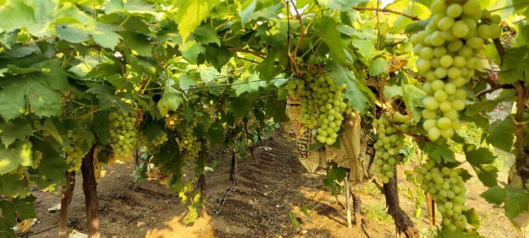 साहेब… तुम्हीच सांगा या द्राक्षांचं करायचं काय? ; केळेवाडी येथील द्राक्ष उत्पादकाने मांडली व्यथा