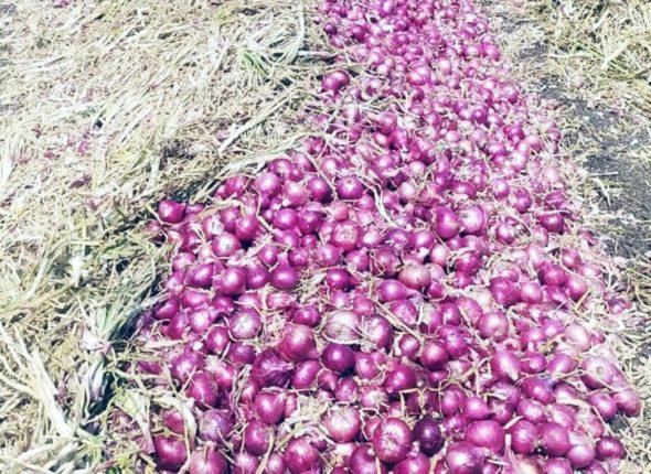 नाशिकच्या कांद्याला सर्वाधिक मागणी ; कांद्याचे स्थानिक उत्पादन वाढल्याने दरात घसरण