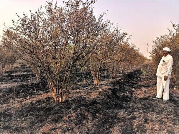 सव्वा एकरातील डाळींब बाग जळाली