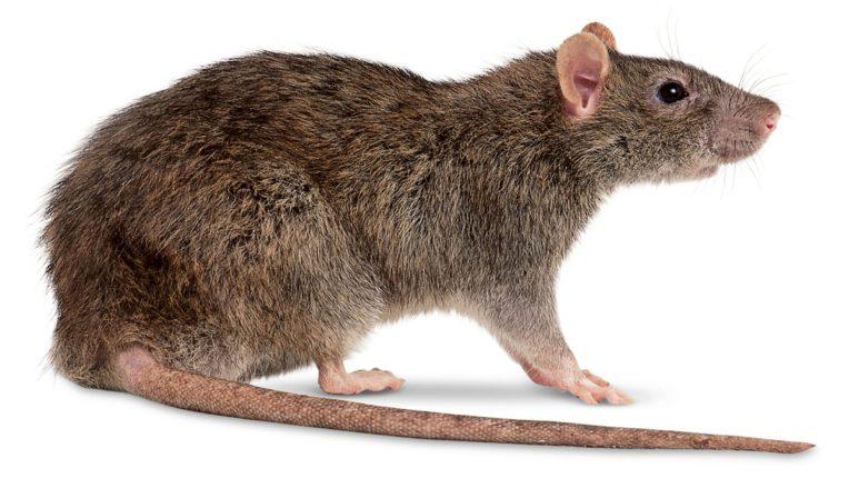 उंदरांची संख्या वाढल्याने ऑस्ट्रेलियात घबराट, उंदरांचं ब्रिटन आणि चीन कनेक्शन