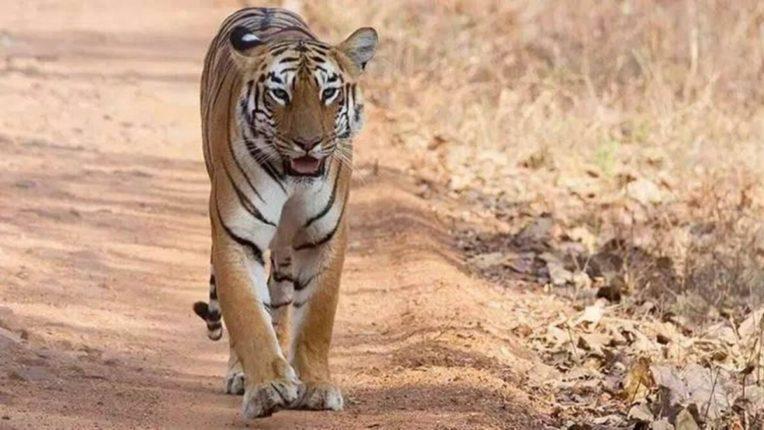उमरेड-कऱ्हांडला अभयारण्यात सूर्या वाघाचा दरारा वाढला; पर्यटकांची जमतेय गर्दी