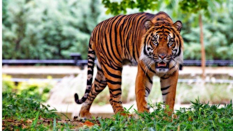 माणिकवाडा शिवारात वाघाची दहशत; शेतकऱ्यांमध्ये भीतीचे वातावरण
