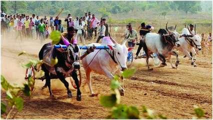 Satara bullock cart race organized; 30 charged