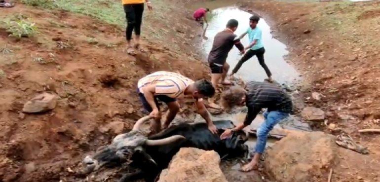 शिरगावच्या प्राणीमित्रांनी कुर्ले धरणात ४ दिवसापासून अडकलेल्या जखमी गायीची तीन तासाच्या अथक प्रयत्नानंतर केली सुटका