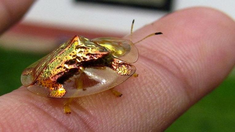 golden tortoise