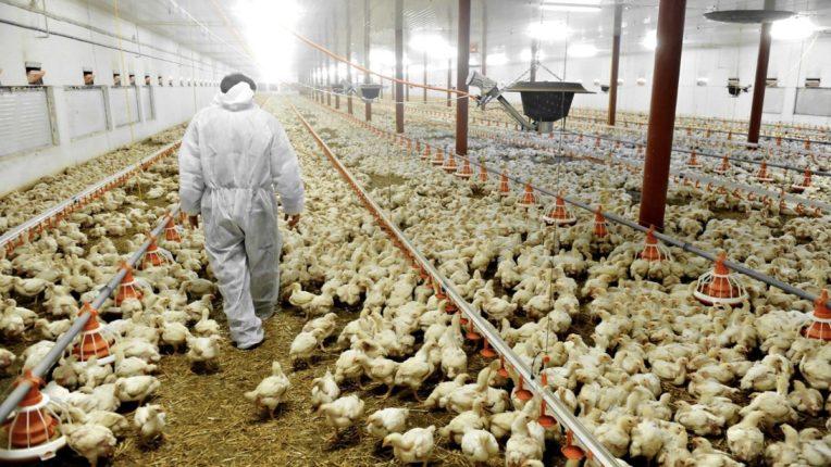 Outbreak of new bird flu in Japan; Panic in poultry farm