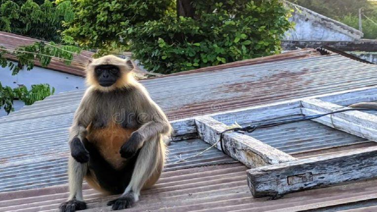 सुतारवाडी नाक्यावर माकडाचा हैदोस, चार जणांना चावला अन्…