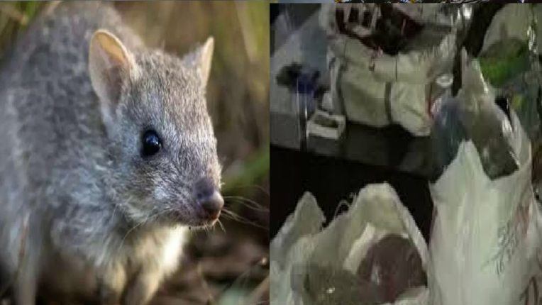 चक्क…उंदरांनी २९ हजार लिटरची दारू केली फस्त, मद्याबरोबर गांजा आणि अफूचाही घेतला स्वाद, काय आहे प्रकार?