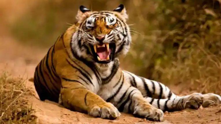 पोंभूर्ण्यात पर्यटन व मचान सफारी; वाघ बघायचं आहे तर पोंभूर्णा गेटला भेट द्या