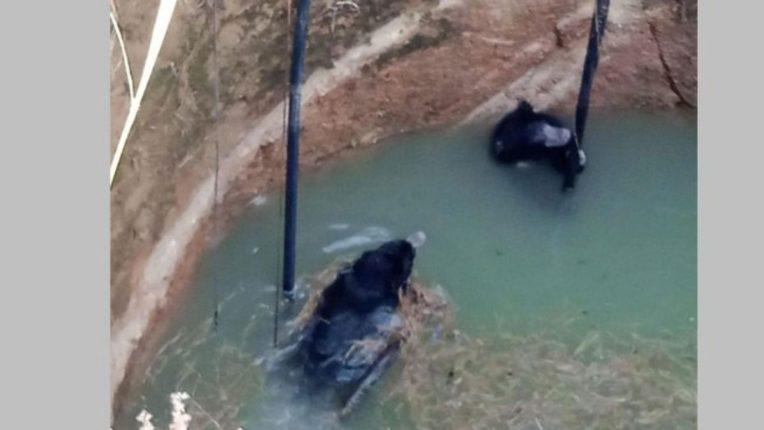 ताडोबा बफर झोनमध्ये चार अस्वलांचा विहिरीत पडून मृत्यू; पाण्याचा शोध बेतला जीवावर