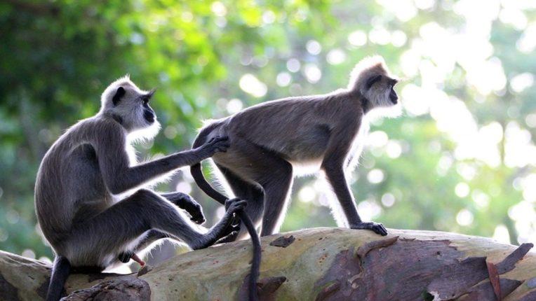 आष्टीत माकड जेरबंदीसाठी मोहीम; मर्कटलिलांनी नागरिक आणि शेतकरी हैराण
