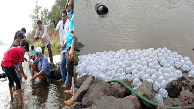 20,000 grass carp and silver carp released in Ulhas river; The river will be saved