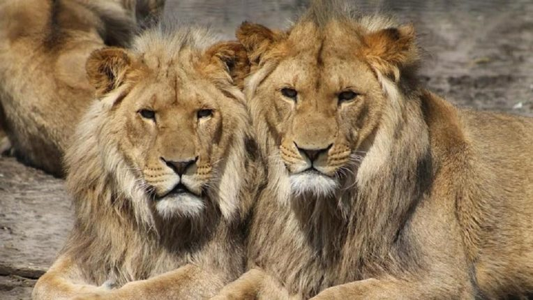Corona report of eight lions came positive; Excitement at the Nehru Zoological Park in Hyderabad