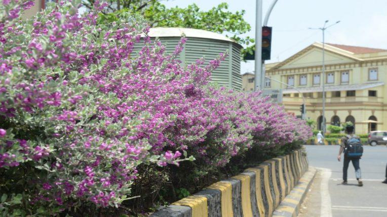 पावसाचे स्वागत करणा-या 'बॅरोमीटर बुश'चा फुलोरा लक्षवेधी ; मेट्रो सिनेमा जवळच्या चौकातील वनस्पतीला आकर्षक फुले