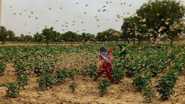 Pakistani locust crisis again; The locusts entered Jaisalmer in Rajasthan