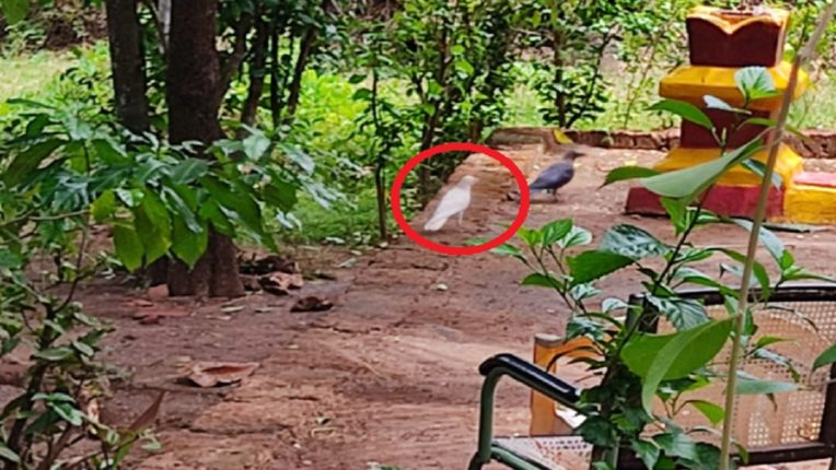 If someone calls you a white crow, you can't believe it, can you? A white crow was found in Ratnagiri
