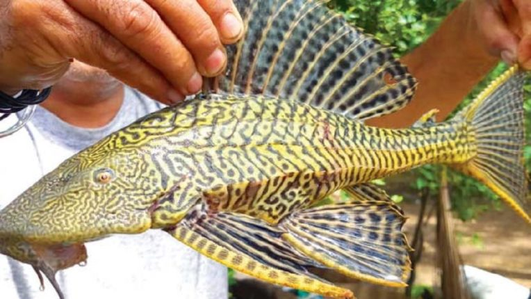 हरिपुरात सापडला हेलिकॉप्टर मासा; अन्य जलचरांची अंडी खाण्यातही आहे तरबेज
