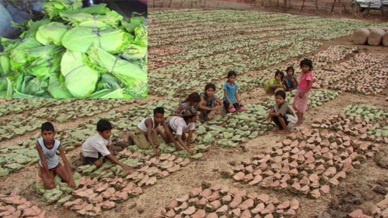 तेंदूपानांची ३०० कोटीची उलाढाल; महाराष्ट्रात २३ जिल्ह्यात उत्पादन केंद्रे, विदर्भ पहिल्या क्रमांकावर