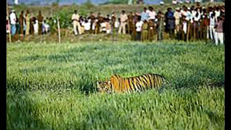 ३ वाघ गावात शिरले; हुसकावून लावताना तीन ग्रामस्थांवर वाघांचा हल्ला