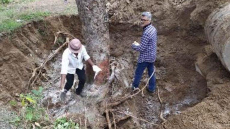 ४० वर्षे जुना वृक्ष उन्मळून पडला; कृषी विद्यापीठातील शास्त्रज्ञांनी केली पुर्नलागवड