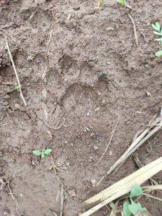 मोहोळ तालुक्यात बिबट्या पुन्हा सक्रीय ;  भोयरे गावच्या हद्दीत म्हशीच्या पिल्लाचा पाडला फडशा