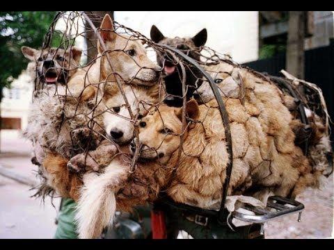 चीनच्या युलिन(Yulin) प्रांतात Dog's meet फेस्टिव्हलला सुरुवात ; यामुळे कोरोना संक्रमण वाढण्याचा धोका अधिक तज्ज्ञांनी व्यक्त केली चिंता