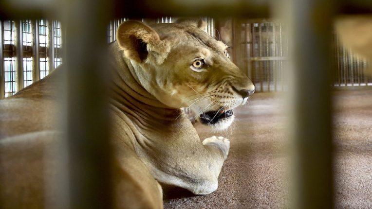 सिंहांवरही कोरोनाचे सावट : चेन्नईला लागून असलेल्या वंदलूरमधील प्राणी संग्रहालयात ९ वर्षाच्या सिंहिणीचा मृत्यू, ११ पैकी ९ सिंहांना झालाय संसर्ग