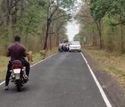 वाघाच्या जोडीला पर्यटकाने अडविले; वाहनचालकांच्या लागल्या लांबच लांब रांगा; वननियमांचे उल्लंघन केल्याचा युवकावर ठपका