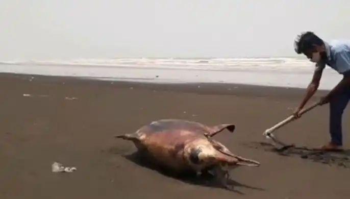 Dead dolphins found on Rajodi beach; Chances of a shipwreck