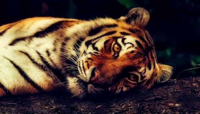 देशात वाघांच्या मृत्यूच्या प्रमाणात १५३ टक्क्यांनी वाढ, वनविभागा समोर मोठं आव्हान
