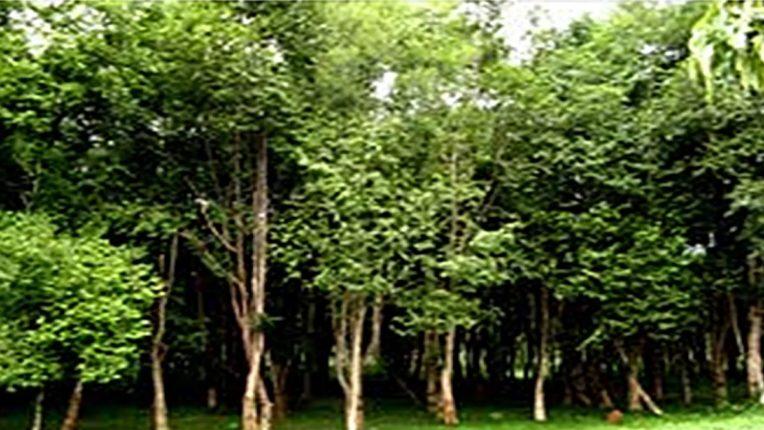 भारतातील 'या' झाडाचे लाकूड आहे सोन्यापेक्षा महाग, एक किलोसाठी मोजावे लागणारे पैसे ऐकाल तर बोबडीच वळेल, जाणून घ्या वैशिष्ट्ये