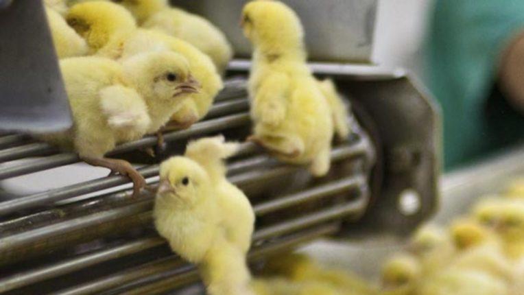 मूर्तिजापूरमध्ये अतिवृष्टीमुळे ९०० कोंबड्यांच्या पिल्लांचा पाण्यात बुडून मृत्यू,शासनाकडून नुकसान भरपाईची मागणी