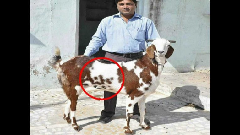 A goat of one crore! 'Allah' why tiger