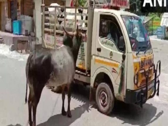 Unique love story of cow and bull
