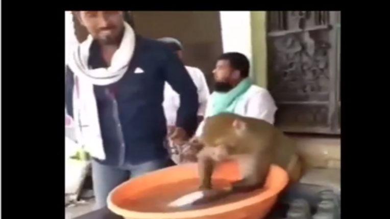 monkey washing utensils