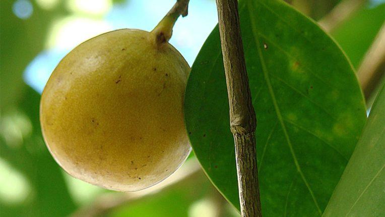 हे फळ इतकं विषारी आहे की, खाल्ल्यास तुमची रवानगी थेट यमसदनीच, जाणून घ्या सविस्तर