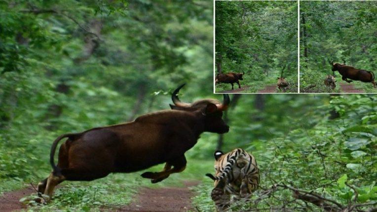 वाघ-रानगव्यातील संघर्षाचा प्रसंग; रानगव्याच्या ताकदीपुढे वाघाचा जंगलात पळ; फोटो व्हायरल