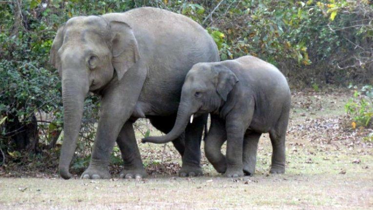 सुमारे २५० ते ३०० वर्षांपूर्वी सातपुड्याच्या या प्रदेशात हत्तींचे वास्तव्य होते; आज हत्ती नामशेष