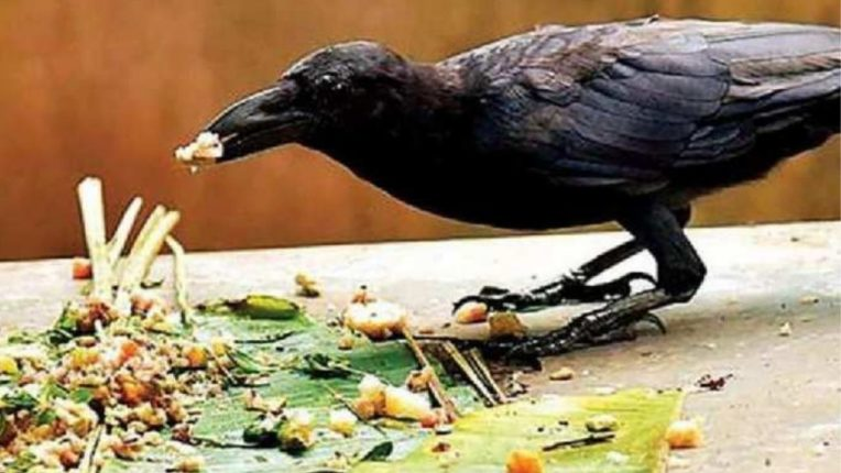 म्हणून श्राद्ध केल्यानंतर कावळ्यालाच खाऊ घातले जाते; जाणून घ्या वैज्ञानिक कारण