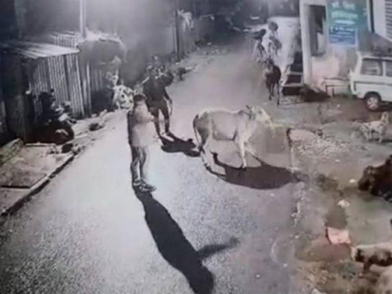 गाई आणि वासरांना पळवून नेण्यासाठी केले जातेय 'हे' कृत्य ; घटना CCTV  मध्ये कैद