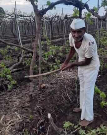 आर्थिक संकट :पाटोदा येथील शेतकऱ्याने चार द्राक्ष बागेवर चालवली कुऱ्हाड
