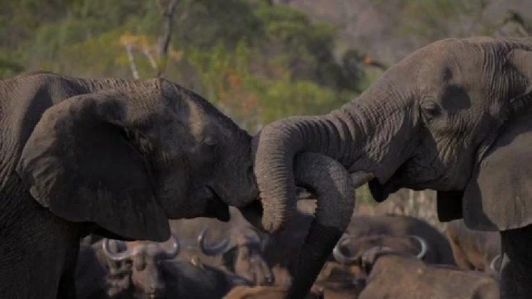 हत्तीचा किंसीग व्हिडीओ व्हायरल, नोटकरी म्हणतायत 'वा बेटा मौज करदी'
