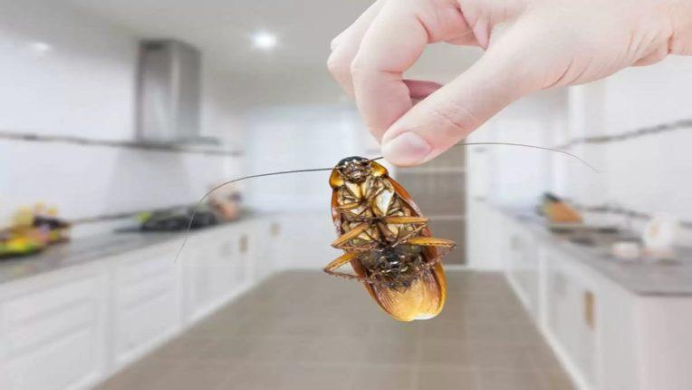 तुमच्या घरात Cockroaches नी उच्छाद मांडलाय? हे उपाय करून पहा, ज्या ठिकाणी असतील तेथे क्षणभरही थांबणार नाहीत