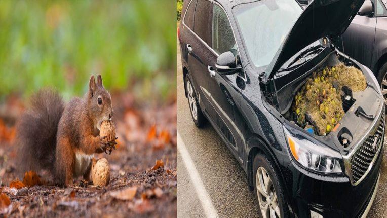 squirrel hiding walnuts in truck